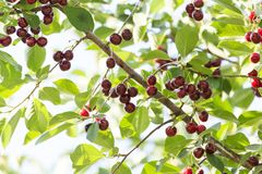 Зрелые вишни на дереве Стоковое Изображение RF