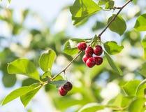 Зрелые вишни на дереве Стоковое Фото
