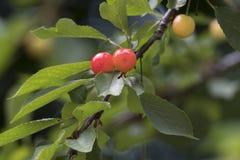Зрелые вишни на дереве Стоковые Изображения RF