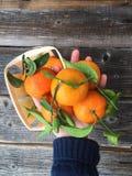 Зрелые вкусные tangerines с листьями в руке Стоковые Изображения