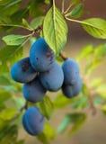 Зрелые голубые сливы в саде Стоковая Фотография