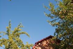зрелые груши вися на ветви дерева на предпосылке крыши дома и темносинего неба Стоковое Фото