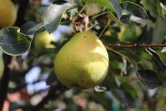 Зрелые груши на ветви дерева в органическом саде Конец вверх по взгляду груш растет на ветви грушевого дерев дерева с листьями вн Стоковые Фото