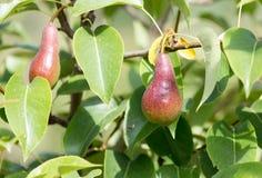 Зрелые груши на дереве Стоковая Фотография
