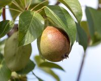 Зрелые груши на дереве Стоковое Изображение