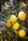 Зрелые желтые лимоны на ветви завод potted Стоковая Фотография