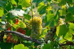Зрелые заводы виноградин белого вина на винограднике во Франции, белом зрелом сборе виноградины муската новом стоковое изображение rf
