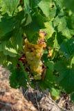 Зрелые заводы виноградин белого вина на винограднике во Франции, белом зрелом сборе виноградины муската новом стоковое фото