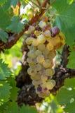 Зрелые заводы виноградин белого вина на винограднике во Франции, белом зрелом сборе виноградины муската новом стоковая фотография