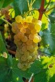Зрелые заводы виноградин белого вина на винограднике в Франции, белое зрелом стоковое фото