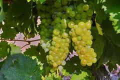 Зрелые заводы виноградин белого вина на винограднике в Франции, белое зрелом стоковые фото