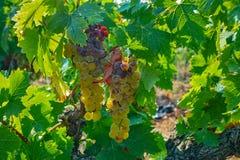 Зрелые заводы виноградин белого вина на винограднике в Франции, белое зрелом стоковые изображения