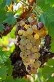 Зрелые заводы виноградин белого вина на винограднике в Франции, белое зрелом стоковое изображение rf
