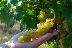 Зрелые заводы виноградин белого вина на винограднике в Франции, белое зрелом стоковое фото rf