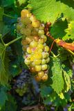 Зрелые заводы виноградин белого вина на винограднике в Франции, белое зрелом стоковая фотография