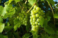 Зрелые зеленые виноградины Стоковые Фото