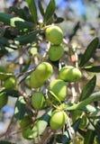 Зрелые зеленые оливки на ветви Стоковое фото RF