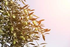 Зрелые зеленые оливки на оливковом дереве Стоковое Фото