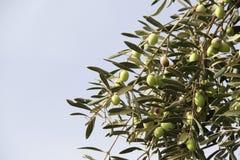 Зрелые зеленые оливки на оливковом дереве Стоковые Фото