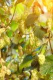 Зрелые конусы хмеля в саде Компонент продукции пива стоковые фото