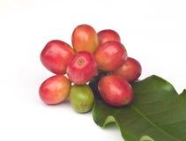 Зрелые кофейные зерна. стоковое фото
