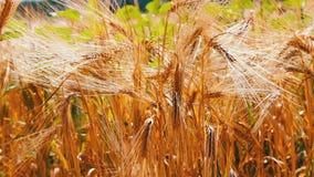 Зрелые красивые колоски пшеницы порхают в ветре сток-видео