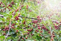 Зрелые красные вишни на дереве с солнечной Точкой доступа Стоковые Фотографии RF