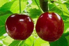 Зрелые красные кислые вишни на ветви дерева с зелеными листьями Стоковое Изображение RF