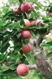 Зрелые красные яблоки на ветви дерева готовой быть выбранным Стоковая Фотография RF