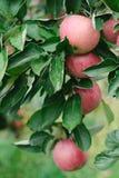 Зрелые красные яблоки на ветви дерева готовой быть выбранным Стоковая Фотография