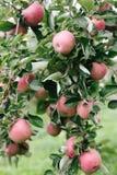 Зрелые красные яблоки на дереве готовом быть выбранным Стоковые Фотографии RF