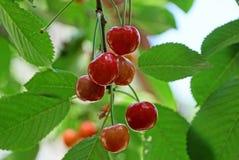 Зрелые красные ягоды вишни на ветви с зелеными листьями стоковое фото