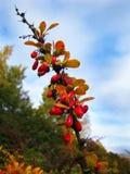 Зрелые красные ягоды на фоне цветов осени Стоковая Фотография RF