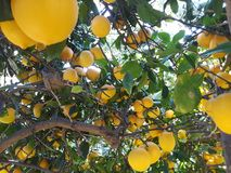 Зрелые лимоны вися на дереве с лучами солнца светя через листья стоковые фотографии rf