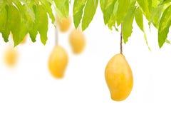 Зрелые манго вися на деревьях с изолированной белой предпосылкой Стоковые Фото