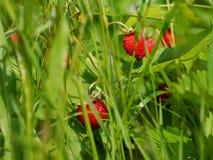 Зрелые одичалые красные клубники между травой Стоковые Изображения