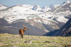 Зрелые олени самца оленя есть в луге на летний день в национальном парке скалистой горы стоковые фото