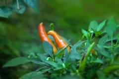 Зрелые оранжевые перцы горячего chili на дереве Стоковое Изображение RF