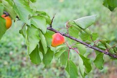 Зрелые органические абрикосы на дереве Стоковое Изображение RF