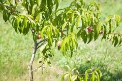 Зрелые органические абрикосы на дереве Стоковая Фотография RF