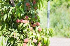 Зрелые органические абрикосы на дереве Стоковое Фото