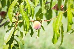 Зрелые органические абрикосы на дереве Стоковая Фотография