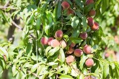 Зрелые органические абрикосы на дереве Стоковые Фотографии RF