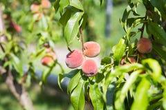 Зрелые органические абрикосы на дереве Стоковые Изображения