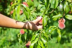 Зрелые органические абрикосы на дереве Стоковые Фото