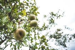 Зрелые органические груши в саде на ветви дерева Сезон сбора осени стоковая фотография rf