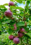 Зрелые, органические яблоки увиденные на одном из нескольких деревьев в коммерчески саде сидра Стоковая Фотография RF