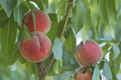 Зрелые персики растут на дереве Стоковые Фото