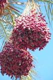 Зрелые плоды вида дерева даты на дереве Даты висят на дереве fruits тропическо стоковое фото