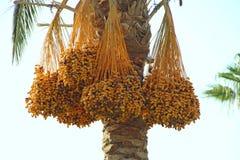 Зрелые плоды вида дерева даты на дереве Даты висят на дереве fruits тропическо стоковые изображения rf